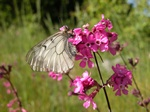 Parnassius mnemosyne